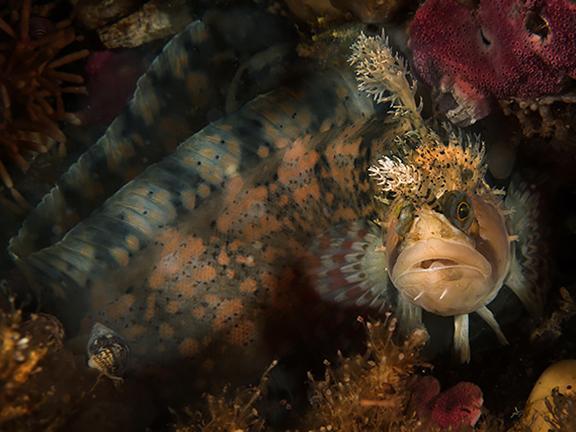 ماهی خشن اما زیبای  Decorated Warbonnet