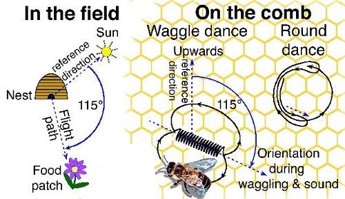رقص زنبور عسل