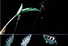 شکار پشه توسط ماهی ها