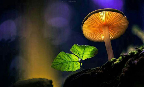 زوم تک قارچ های نورانی