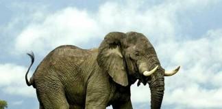 فیل-ها-کلید-درمان-سرطان