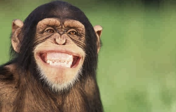 Chimpanzee-smile