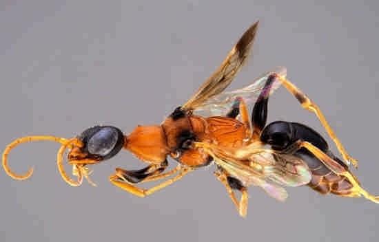 زنبور دیوانه