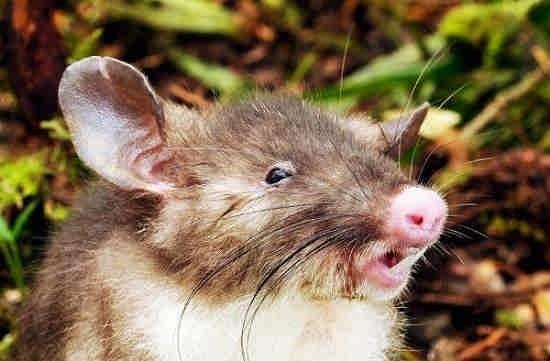 موش پوزه