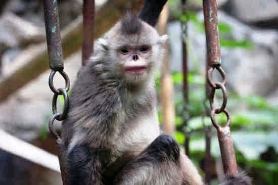میمون عطسه زن
