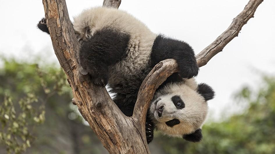 giant-panda-tree-jpg-adapt-945-1