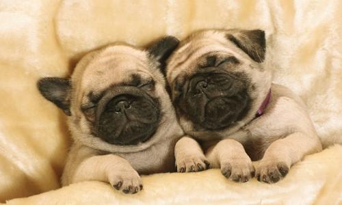two pug puppies sleeping