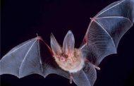 خطرات خفاش برای انسان