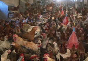 چگونه با پرورش مرغ بومی میلیونر شویم؟