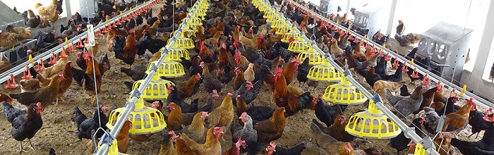 چرا پرورش مرغ بومی ؟