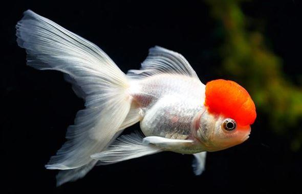 ماهی گلد فیش